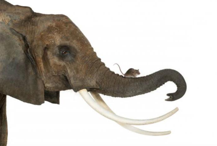 slonova cijev